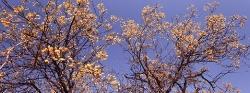 109A_LZmE_0409-05.5 'Muleza' Cassia abbreviata