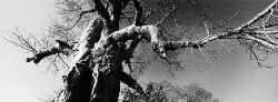 115A_LZmE_0409-05.19BW 'Chamfwiti' Tree of Witches