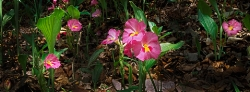 166_LZmL_541 'Chitungulu', Rose Ginger, Siphonochilus kirki