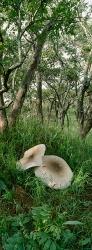 019_LZmMut_101V Giant Termite Mushroom & Miombo