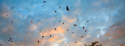092_LZmL_4530A Bat Migration