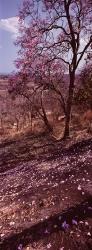 110A_LZmE_0409-18.35V 'Kavunguti' Pink Jacaranda