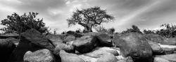 098A_LZmE_0409 15.10BW Confluence Baobab