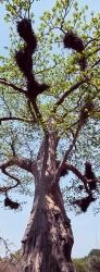 226_LZmE_377V Baobab & Buffalo Weaver Nests