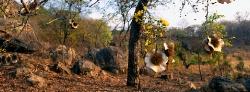 040_LZmE_296 Mulombwa Mukwa (Pterocarpus angolensis)